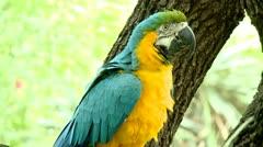 Big beautiful parrot close up Stock Footage