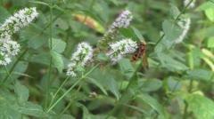 Bee on peppermint flower Stock Footage