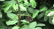 HD wild Peleides Blue Morpho butterfly (Morpho peleides) in the wild Stock Footage