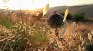 Stock Video Footage of Flower in Galilee