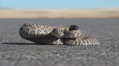 P01767 Prairie Rattlesnake on Road at Ground Level Stock Footage