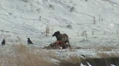 P01778 Black Wolf Feeding on Carcass at Yellowstone National Park Stock Footage