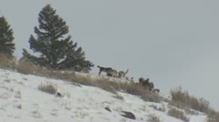 P01783 Wolf Pack on Hilltop at Yellowstone National Park Stock Footage