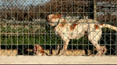Aggressive dogs locked and tied in a kennel Stock Footage