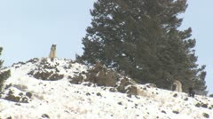 P01784 Wolves on Ridgetop at Yellowstone - stock footage
