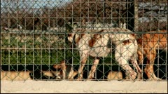 Aggressive dogs about to fight locked and tied in a kennel - stock footage