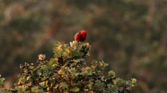Hawaiian Forest Bird ( `Apapane )  on Ohia Stock Footage