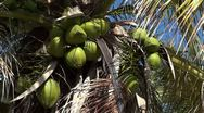 Coconut In Palm Tree Closeup Stock Footage