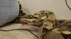 Angry Snake Crawled in the Bedroom HD Stock Footage