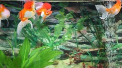 Feeding the Goldfishes - stock footage