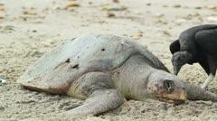 Dead loggerhead turtle eaten by black vultures Stock Footage