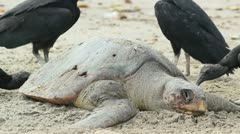 Dead loggerhead turtle eaten by black vultures Stock Footage