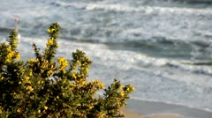 Gorse on the coast - stock footage