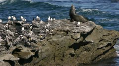 Sea lion and Pelicans on Rock (HD) Stock Footage