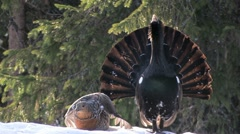 Capercaillie Grouse HD Prores - stock footage