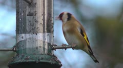 Goldfinch eating nyger seed from a garden bird feeder 3 Stock Footage