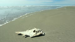 Dead fish on a beach on the Pacific coast of Ecuador - stock footage