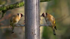 Goldfinches eating nyger seed, then one flies away Stock Footage