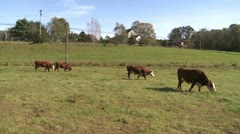 Cows out in the pasture (3 of 4) Stock Footage