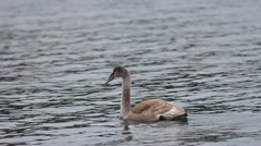 Young lonely swan - stock footage
