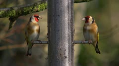 Two Goldfinches eating nyger seed, close up in sunshine Stock Footage
