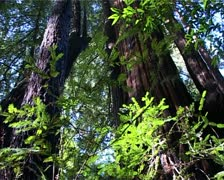 Tilt up Redwood Trees in California, USA GFSD Stock Footage