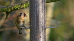 Goldfinch eating nyger seed from a feeding station. sunny. Stock Footage