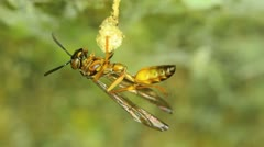 wasp cleaning she's body, super macro circa 2:1 life size, camera lock down - stock footage