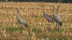 common crane - stock footage