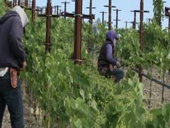 VINEYARD WORKERS - stock footage