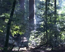 Redwood Tree giving off Steam in Forest GFSD Stock Footage