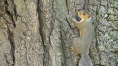 Squirrel on a tree (1 of 4) - stock footage