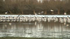 Large Flock of Gulls on Water Stock Footage