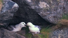 Nothern Fulmar Stock Footage