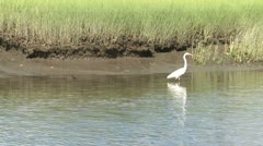 Egret in the marsh (3 of 4) Stock Footage