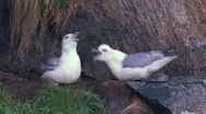 Stock Video Footage of Nothern Fulmar