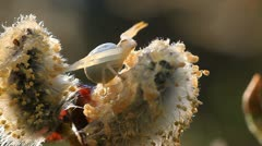 Misumena Vatia - stock footage