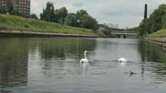 Swans Feeding Upstream River HD Stock Footage
