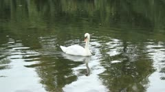 Swan In Stream HD Stock Footage