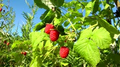 Three beautiful berries of a raspberry which have absolutely ripened Stock Footage