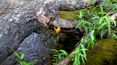 Gold mushrooms, grow on trees in unnatural position - stock footage
