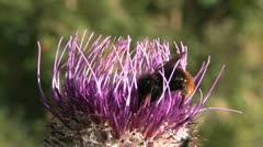 Bumble bee on thistle flower Stock Footage
