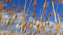 Marsh Grass in the wind Stock Footage