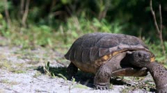 Gopher Tortoise Walking - stock footage