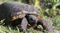 Gopher Tortoise Eating Looking At Viewer Stock Footage