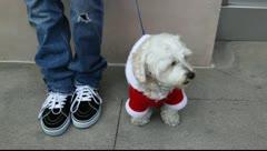 Small white dog dressed as Santa Clause at Christmas holiday season Stock Footage