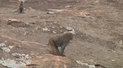Olive baboon Stock Footage