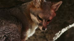 Fox Close-Up Stock Footage