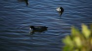American Coot Swimming Stock Footage
