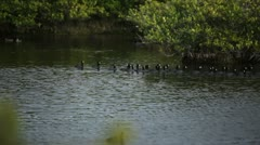 Florida Swamp with birds swimming past. Stock Footage